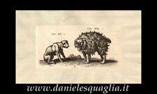 CANIS INDI LUPO INDIANO CANE ZOOLOGIA ANIMALI INCISIONE ORIGINALE 1660