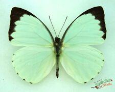 nepheronia thalassina ensemble africain spécimen A1- séché Insect ENTOMOLOGIQUE