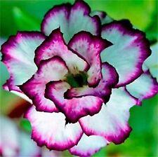 5Pcs Adenium Obesum Tropics Outdoor Plants Desert Rose Bonsai Flower Seeds Decor