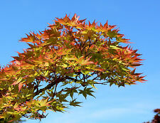 10 MON ZUKUSHI MAPLE Tree Dwarf Japanese Acer Palmatum Seeds Peach Red Purple