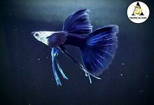 1 Pair - HB Blue Ribbon long Fin - Live Guppy Fish High Quality US Seller.