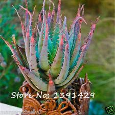 RARE SALE Snake Aloe Vera Seeds Rainbow Aloe Vera Plant Herbal Succulent