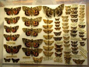 StoreBox 10 (69) British Moths Butterflies  Insect Lepidoptera Taxidermy