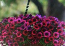 Petunia Shock Wave Deep Purple Flower Seeds