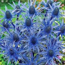 30+  ERYNGIUM PLANUM, BLUE SEA HOLLY FLOWER SEEDS / PERENNIAL FIRST YEAR BLOOM