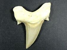 "Fossil Otodus Shark Tooth Teeth Megalodon Ancestor 2 1/2 "" Killer Fossil Shark"