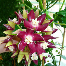 Rocket Hoya Seeds Orchid Seeds Tectorum Perennial Flower Seeds Bonsai 100Pcs
