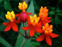 Indianer Seidenpflanze 25 Samen Asclepias Curassavica Seidenblume