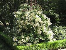 Schizophragma hydrangeoides Japanese Hydrangea 25 seeds