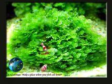 Round Pellia # Live aquarium plant fish tank WS