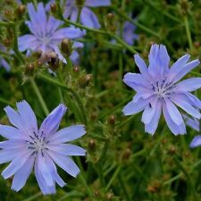 Common Chicory - 10+ seeds - WILD EDIBLE!