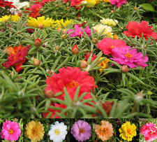 75+ MOSS ROSE  MIX / PORTULACA / SUCCULENT / LONG LASTING ANNUAL FLOWER SEEDS