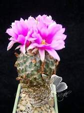 Pelecyphora encephalocarpus strobiliformis 10 SEEDS cactus