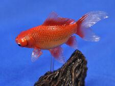 "yujin capsule gold fish part 1 Rescheduled Added ver "" Globe Eye """