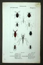 PUNAISE DE LIT, NEPE Insecte entomologie coléoptères gravure aquarelle 1819