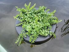 Green Creeping Jenny - Healthy Aquatic Pond Water Plant - Great for plant rings