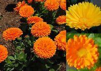 150+ Samen Calendula - Ringelblume Mix gefüllt und ungefüllt gelb orange