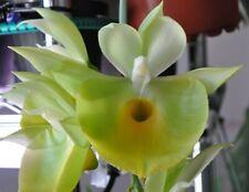 * Catasetum pileatum 'Jumbo Green Gold' - Bare Root Orchid Plant