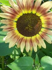 Sonnenblume - Autumn Beauty - Sunflower - 5+ Samen- Rarität