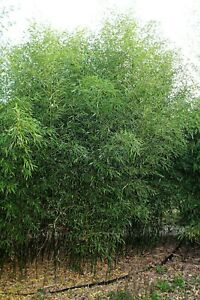 Bamboo Phyllostachys Bissetii 2-3 Stem Live Clumps Unpotted rooted WINTER HARDY