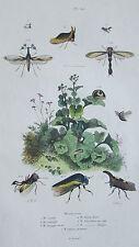 Gravure en couleur du XIXè s. Membraces. Entomologie. Lunulé Lancéolé Tragope...