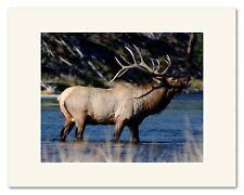 "11X14"" Matted Fine Art Photograph - Yellowstone Elk, Madison River"