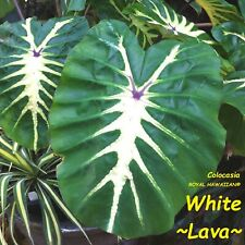 ~WHITE LAVA~ Colocasia esculenta ORNAMENTAL ELEPHANT EAR 2-3ft Plant LARGE SIZE