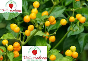Chilli Aji Charapita Most Expensive Pepper Sustainably Grown in OZ 10 Seeds