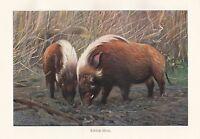 C1914 Naturel History Imprimé~River-Hog~Lydekker