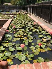 Colorado Waterlily. One Plant For Your Pond