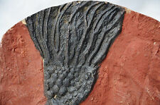 """7649 CRINOID """"Sea Lily"""" Morocco 440 million y old Fossil Plate 200mm LARGE 7.9"""""""