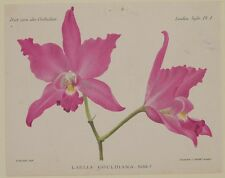 COGNIAUX GOOSSENS LAELIA GOULDIANA ORCHIDEE ORCHIDS ORCHIDEE FIORI 1800 FLOWERS