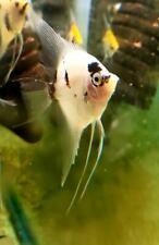 Panda Angelfish - adults
