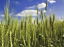 Organic Triticale (Wheat x Rye Hybrid) Non-GMO Grain Cereal Crop - ½oz (~300s)