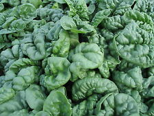 500 Bloomsdale Spinach Seeds Non GMO Grows in Cool Weather Heirloom Variety