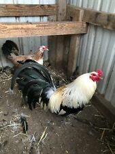 8+ Hargis Grey Chicken Hatching Eggs
