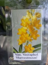 Orchid Vanda V. Veeraphol Harvestmoon Exotic Tropical Plant