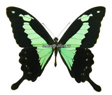 Unmounted Butterfly/Papilionidae - Papilio phorcas congoanus, male, A-