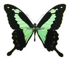 Unmounted Butterfly/Papilionidae - Papilio phorcas congoanus, male, CAR