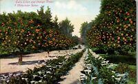 Calla Lilies and Orange Trees a Mid winter Scene  Vintage Postcard AU1