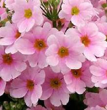 100 Primrose Seeds Primula Malacoides Pink FAIRY PRIMROSE