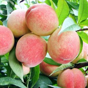 2Pcs Peach Tree-Fruit Seeds Ordinary Pereninal Sweet Tasty Nectarine Garden