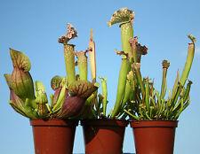 3 x live PITCHER CARNIVOROUS PLANTS: Sarracenia purpurea, leucophylla, stevensii