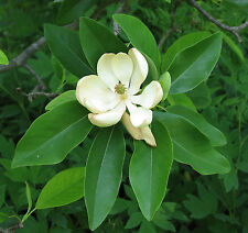 Magnolia virginiana australis EVERGREEN SWEETBAY MAGNOLIA TREE Seeds!
