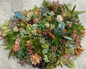 15 Beautiful Organic Succulent Cuttings - all different - Quick Ship from CA