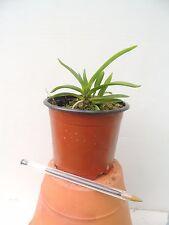 orchid / orchidée Neofinetia falcata