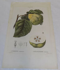 c1810 Antique COLOR Print   ///   QUINCE FRUIT by Redoute