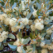 Round Leaved Moort (E platypus) Seeds Native Evergreen Drought & Frost Tolerant