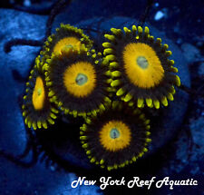New York Reef Aquatic - 0611 A4 Scrambled Eggs Zoanthid, Zoa, Wysiwyg Live Coral