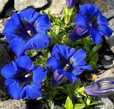 Stängelloser Enzian • 300 Samen/seeds • Gentiana acaulis•Alpen Enzian•winterhart
